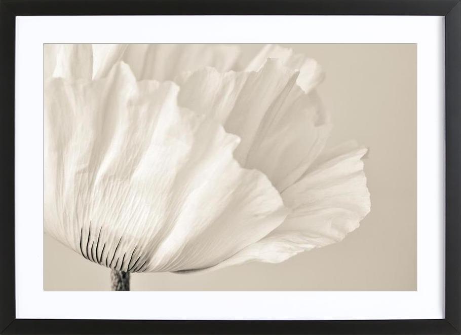 White Poppy -Bild mit Holzrahmen