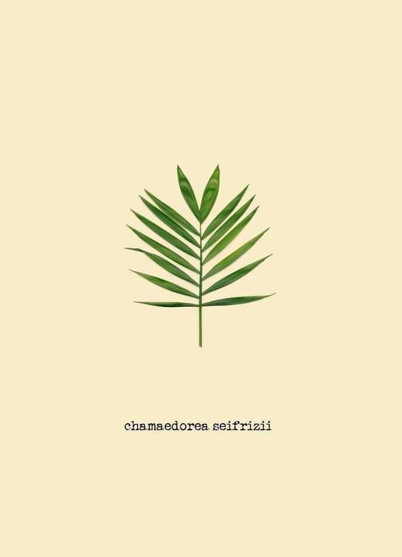 Chamaedorea Seifrizii -Leinwandbild