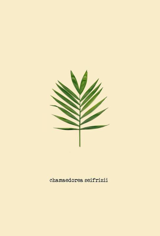 Chamaedorea Seifrizii -Alubild