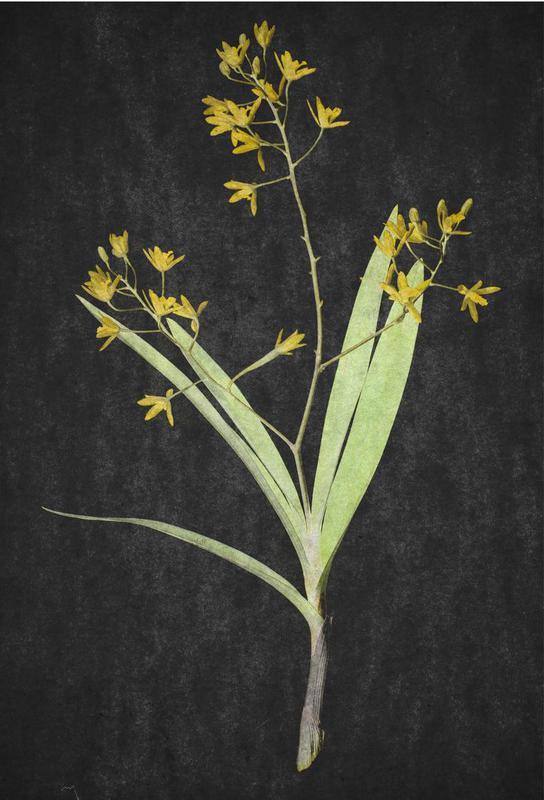 Muti Orchid -Acrylglasbild