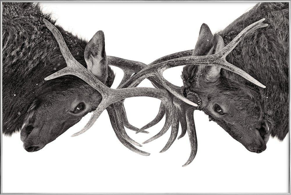 Eye to Eye - Elk Fight - Jim Cumming poster in aluminium lijst