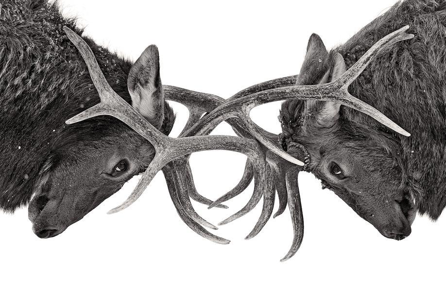 Eye to Eye - Elk Fight - Jim Cumming -Acrylglasbild