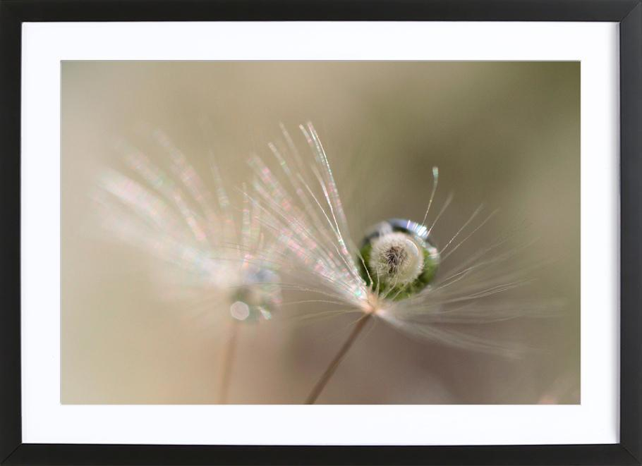 Star of Dandelion -Bild mit Holzrahmen