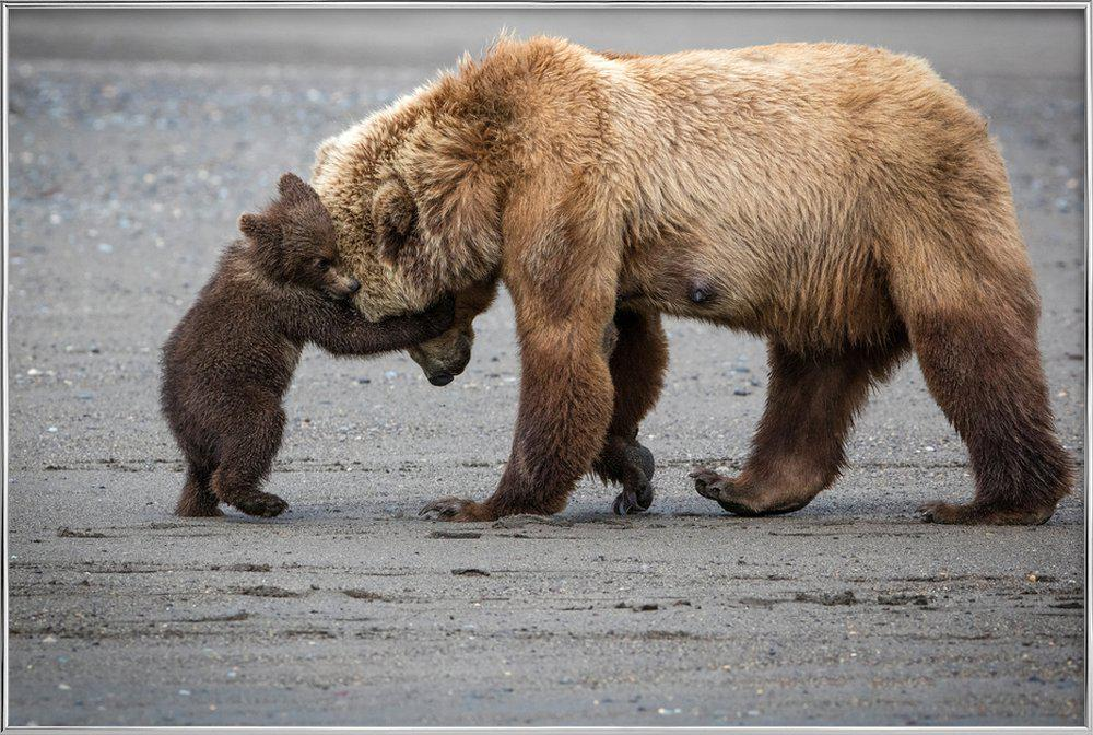 A Little Bear Hug - Renee Doyle -Poster im Alurahmen