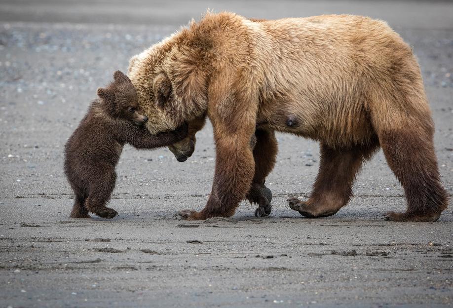 A Little Bear Hug - Renee Doyle -Acrylglasbild