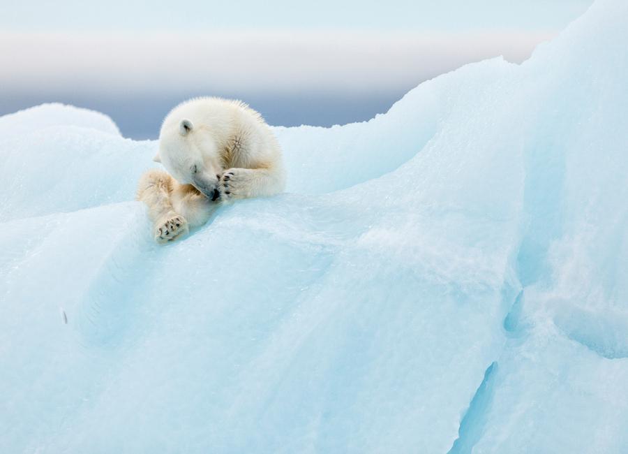 Polar Bear Grooming - Joan Gil Raga Canvas Print