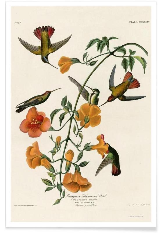 Mangrove Hummingbird affiche