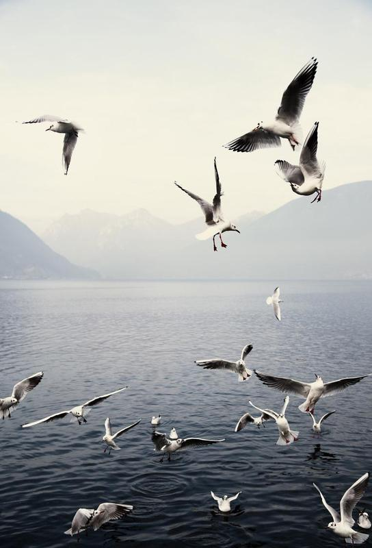 Seagulls alu dibond