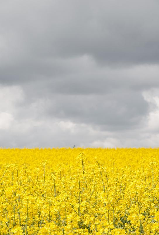 Grey Sky Meets Yellow Fields Acrylic Print