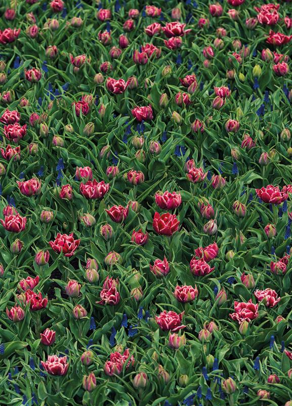 Tulip Field Pink toile