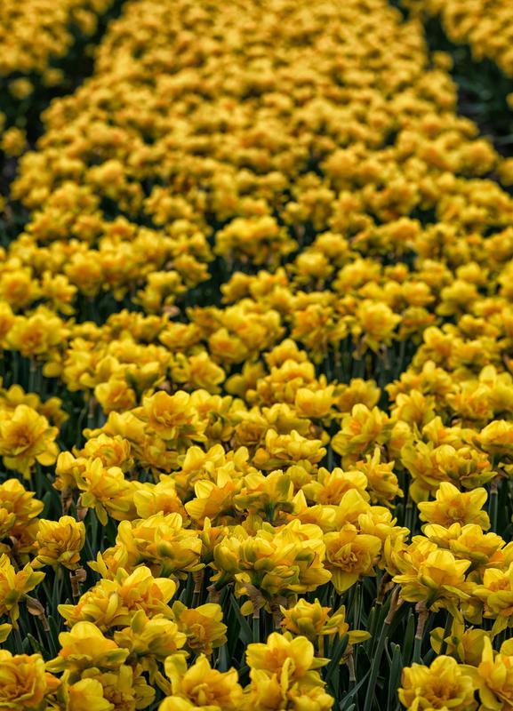 Golden Tulips toile