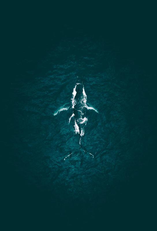 Humpback Breach -Alubild