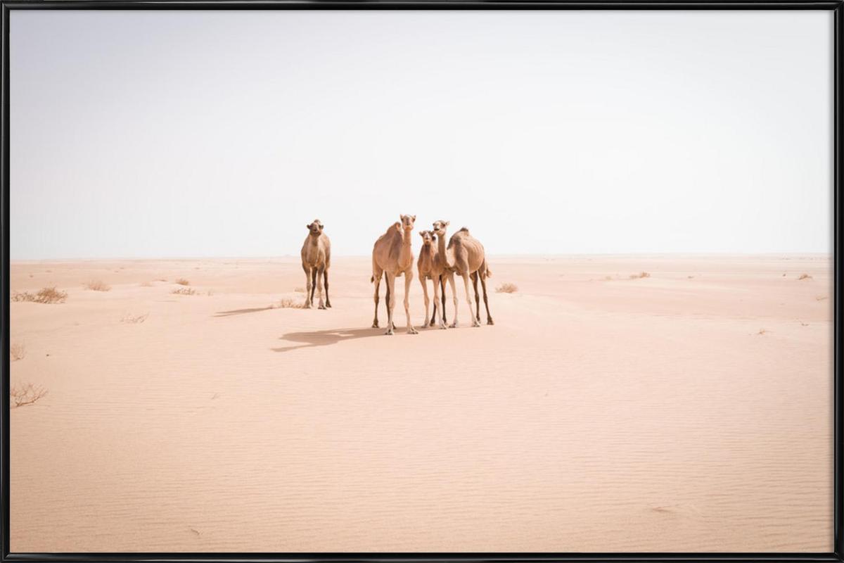 Camels Sahara ingelijste poster