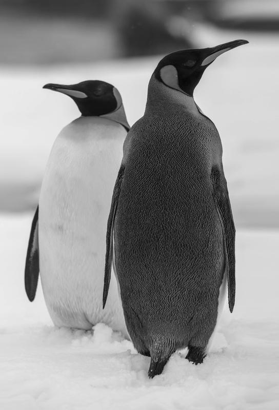 The Penguins Acrylic Print
