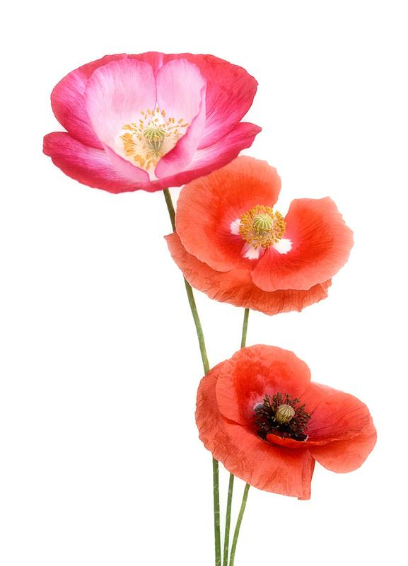 Colourful Poppies toile