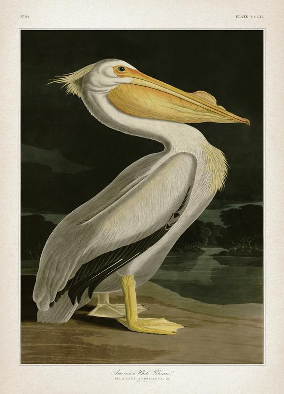 American White Pelican - Audubon -Leinwandbild