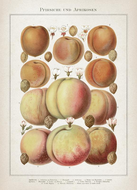 Pfirsiche und Aprikosen - Meyers Canvas Print