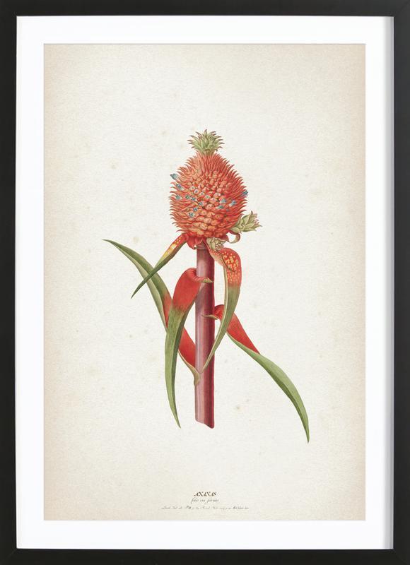 Ananas Folio - Ehret Framed Print