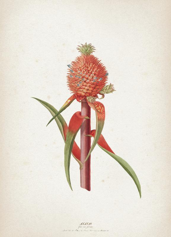Ananas Folio - Ehret Canvas Print