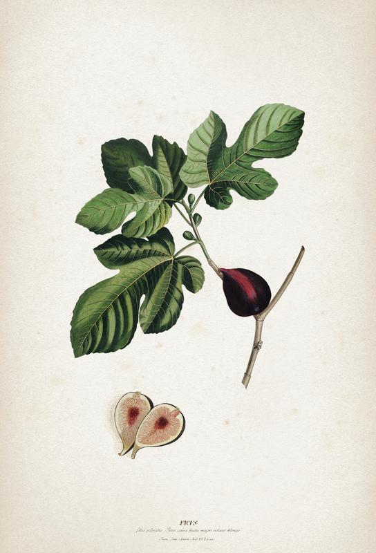 Ficus - Ehret Acrylic Print