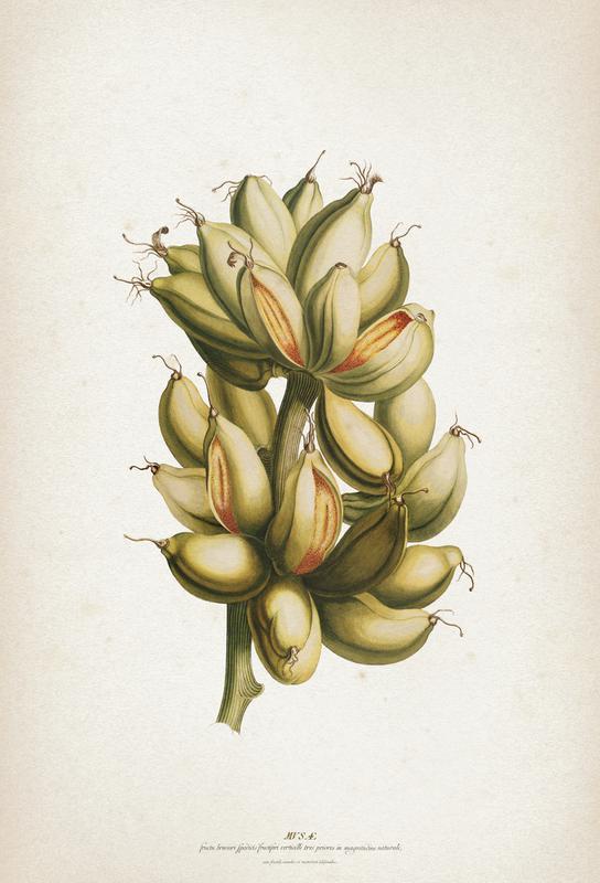 Musae Priores - Ehret Acrylic Print