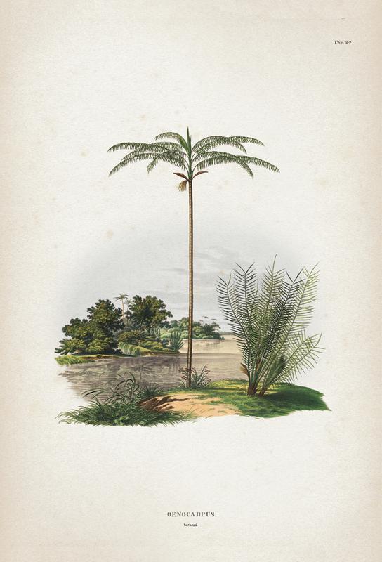 Oenocarpus Bataua - Martius tableau en verre