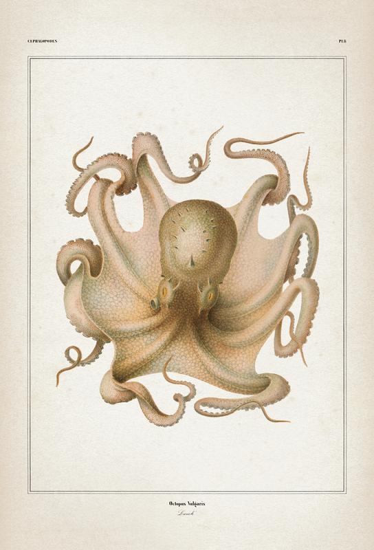 Octopus Vulgaris - Vérany tableau en verre