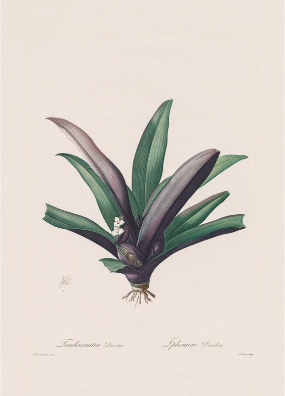 Tradescantia Discolour, 1802-1816 - Henry Joseph Redouté Canvas Print