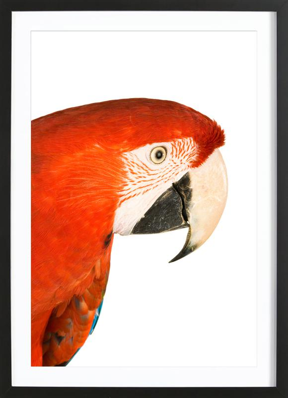 Royal Red Parrot -Bild mit Holzrahmen