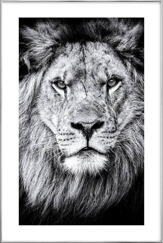 Portrait of a Regal Lion Poster in Aluminium Frame