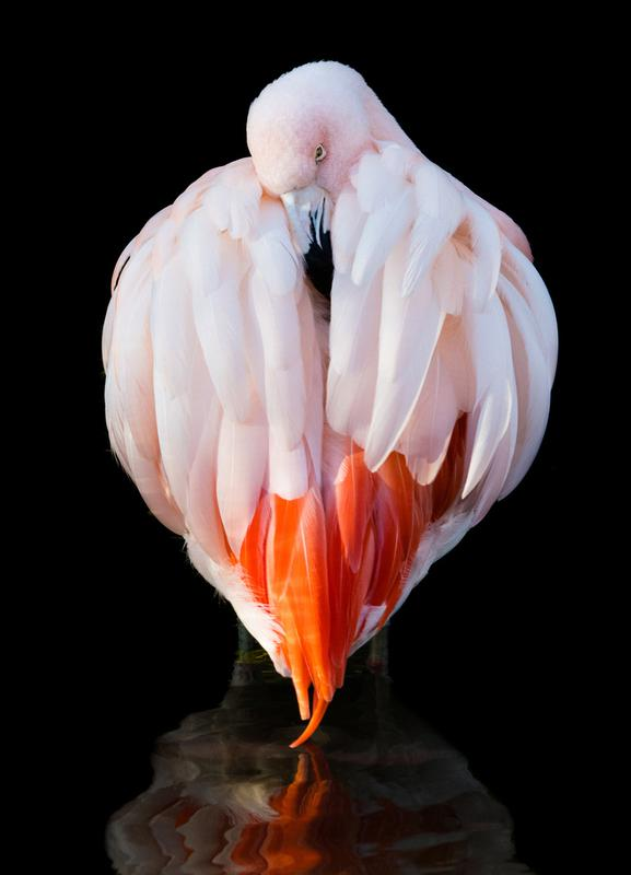 Flamingo in Reflection Canvas Print