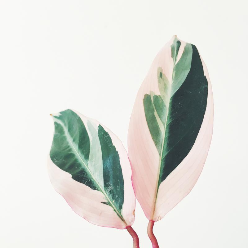 Pink Leaves -Acrylglasbild